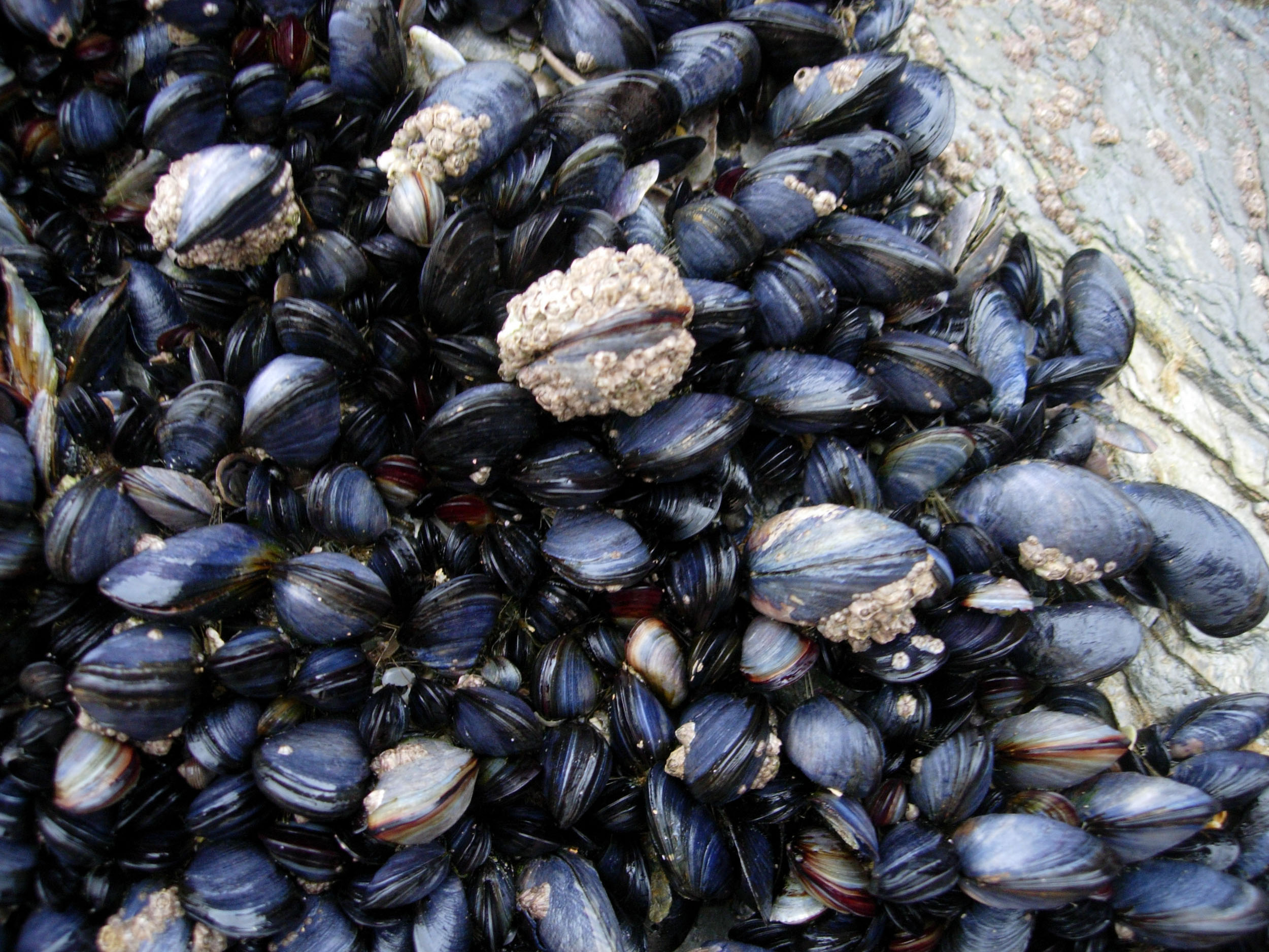 Thousands of fresh West Cork mussels recalled due to high toxins